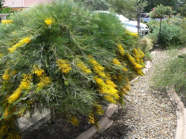 Gondwana nursery native flora gallery semi prostrate to 50cm fine foliage and large yellow flowers this is a remarkably hardy groundcover grevillea suited to many applications rock walls mightylinksfo